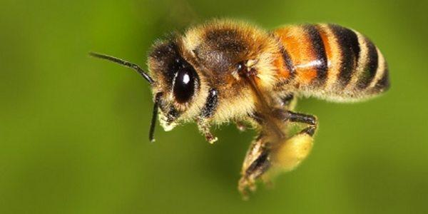 adotta un ape